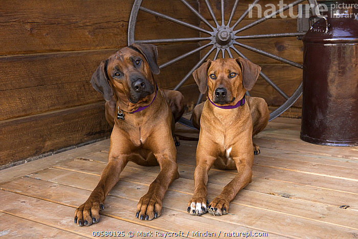 Rhodesian Ridgeback (Canis familiaris) male and female, North America  ,  Adult, Canis familiaris, Color Image, Day, Domestic Dog, Female, Front View, Full Length, Horizontal, Looking at Camera, Male, Nobody, North America, Outdoors, Photography, Rhodesian Ridgeback, Two Animals,Rhodesian Ridgeback,North America  ,  Mark Raycroft