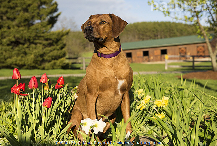 Rhodesian Ridgeback (Canis familiaris) female, North America, Adult, Canis familiaris, Color Image, Day, Domestic Dog, Female, Front View, Full Length, Horizontal, Nobody, North America, One Animal, Outdoors, Photography, Rhodesian Ridgeback,Rhodesian Ridgeback,North America, Mark Raycroft