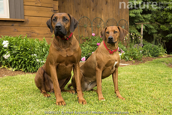 Rhodesian Ridgeback (Canis familiaris) male and female, North America, Adult, Canis familiaris, Color Image, Day, Domestic Dog, Female, Front View, Full Length, Horizontal, Male, Nobody, North America, Outdoors, Photography, Rhodesian Ridgeback, Side View, Two Animals,Rhodesian Ridgeback,North America, Mark Raycroft