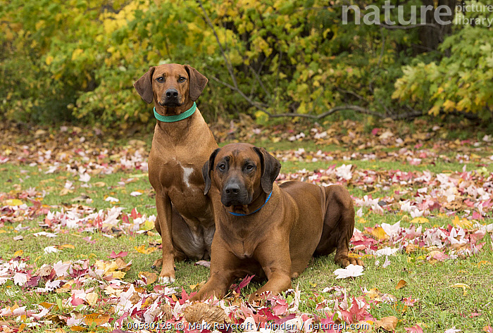 Rhodesian Ridgeback (Canis familiaris) female and male, North America  ,  Adult, Canis familiaris, Color Image, Day, Domestic Dog, Female, Front View, Full Length, Horizontal, Looking at Camera, Male, Nobody, North America, Outdoors, Photography, Rhodesian Ridgeback, Side View, Two Animals,Rhodesian Ridgeback,North America  ,  Mark Raycroft