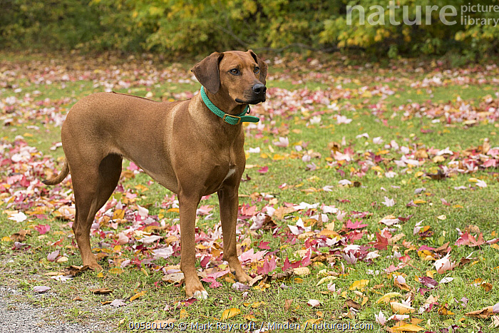 Rhodesian Ridgeback (Canis familiaris) female, North America, Adult, Canis familiaris, Color Image, Day, Domestic Dog, Female, Full Length, Horizontal, Nobody, North America, One Animal, Outdoors, Photography, Rhodesian Ridgeback, Side View,Rhodesian Ridgeback,North America, Mark Raycroft