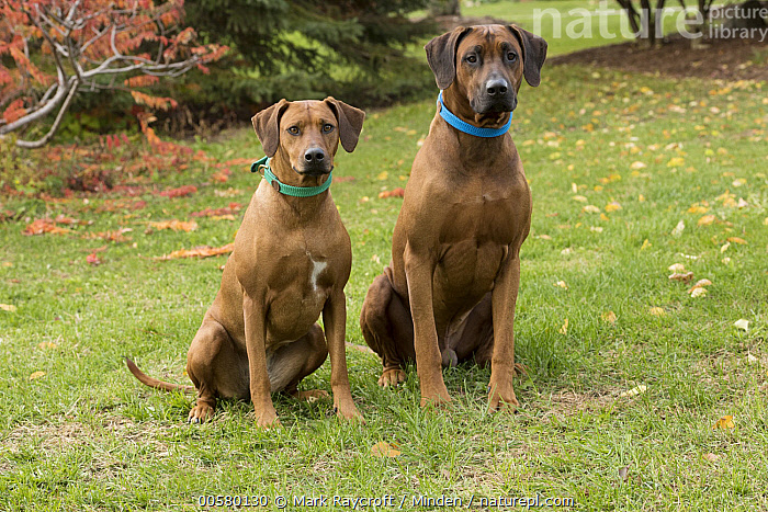 Rhodesian Ridgeback (Canis familiaris) female and male, North America, Adult, Canis familiaris, Color Image, Day, Domestic Dog, Female, Front View, Full Length, Horizontal, Male, Nobody, North America, Outdoors, Photography, Rhodesian Ridgeback, Two Animals,Rhodesian Ridgeback,North America, Mark Raycroft