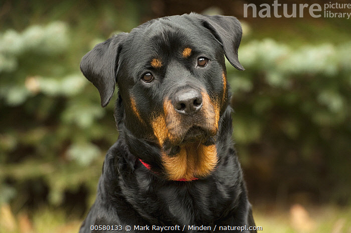 Rottweiler (Canis familiaris), North America, Adult, Canis familiaris, Close Up, Color Image, Day, Domestic Dog, Front View, Head and Shoulders, Horizontal, Looking at Camera, Nobody, North America, One Animal, Outdoors, Photography, Portrait, Rottweiler,Rottweiler,North America, Mark Raycroft