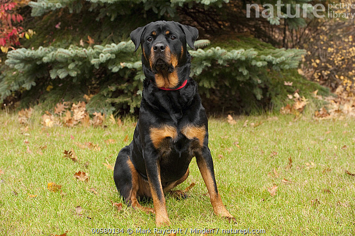 Rottweiler (Canis familiaris), North America  ,  Adult, Canis familiaris, Color Image, Day, Domestic Dog, Front View, Full Length, Horizontal, Looking at Camera, Nobody, North America, One Animal, Outdoors, Photography, Rottweiler,Rottweiler,North America  ,  Mark Raycroft