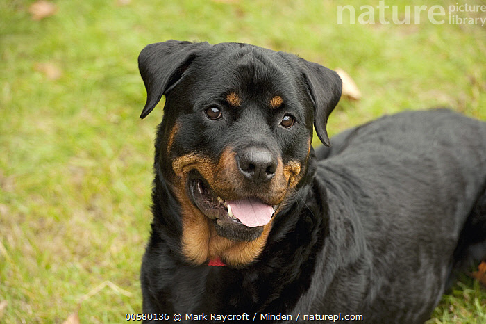 Rottweiler (Canis familiaris), North America, Adult, Canis familiaris, Close Up, Color Image, Day, Domestic Dog, Horizontal, Nobody, North America, One Animal, Outdoors, Panting, Photography, Rottweiler, Side View, Three Quarter Length,Rottweiler,North America, Mark Raycroft