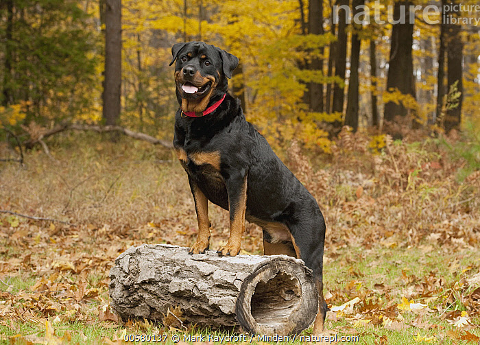 Rottweiler (Canis familiaris), North America, Adult, Canis familiaris, Color Image, Day, Domestic Dog, Full Length, Horizontal, Nobody, North America, One Animal, Open Mouth, Outdoors, Photography, Rottweiler, Side View,Rottweiler,North America, Mark Raycroft
