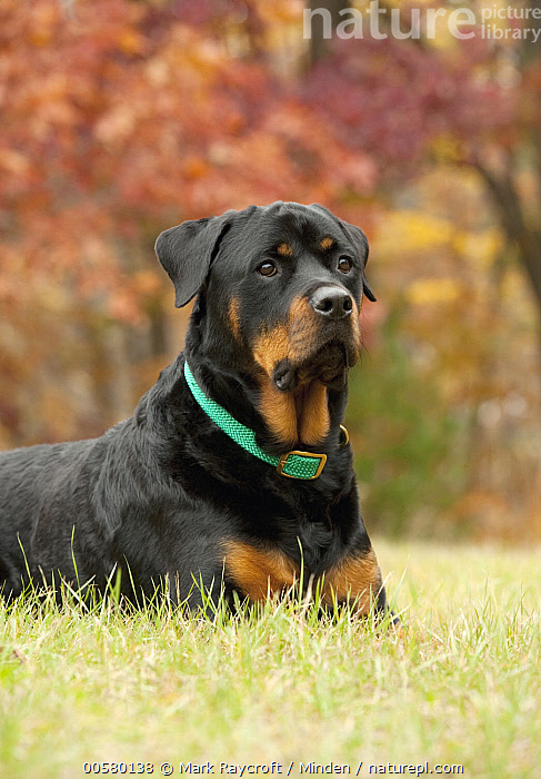 Rottweiler (Canis familiaris), North America, Adult, Canis familiaris, Color Image, Day, Domestic Dog, Nobody, North America, One Animal, Outdoors, Photography, Rottweiler, Side View, Vertical, Waist Up,Rottweiler,North America, Mark Raycroft