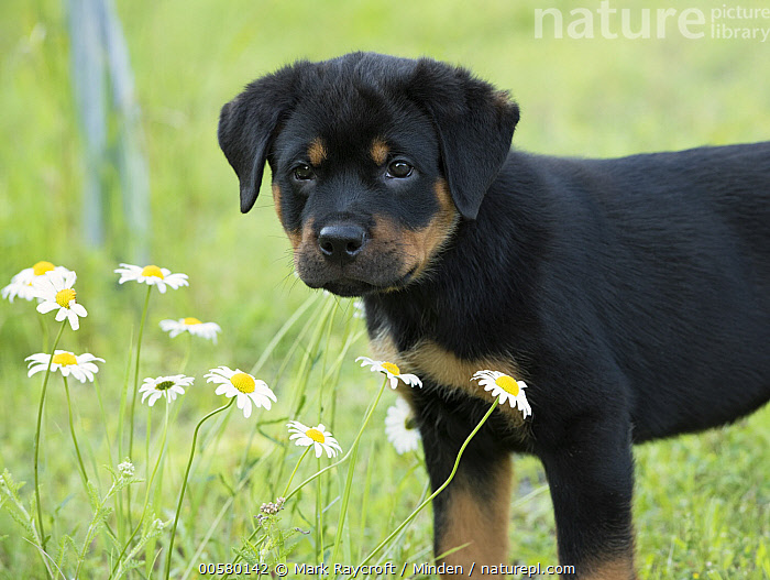 Rottweiler (Canis familiaris) puppy, North America  ,  Baby, Canis familiaris, Color Image, Cute, Day, Domestic Dog, Horizontal, Nobody, North America, One Animal, Outdoors, Photography, Puppy, Rottweiler, Side View, Waist Up,Rottweiler,North America  ,  Mark Raycroft