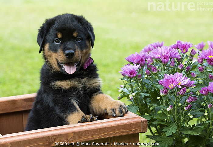 Rottweiler (Canis familiaris) puppy, North America  ,  Baby, Canis familiaris, Color Image, Cute, Day, Domestic Dog, Front View, Horizontal, Looking at Camera, Nobody, North America, One Animal, Outdoors, Panting, Photography, Puppy, Rottweiler, Waist Up,Rottweiler,North America  ,  Mark Raycroft