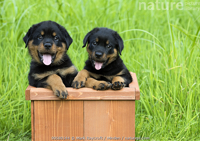 Rottweiler (Canis familiaris) puppies, North America, Baby, Canis familiaris, Color Image, Cute, Day, Domestic Dog, Front View, Horizontal, Looking at Camera, Nobody, North America, Outdoors, Panting, Photography, Puppy, Rottweiler, Two Animals, Waist Up,Rottweiler,North America, Mark Raycroft