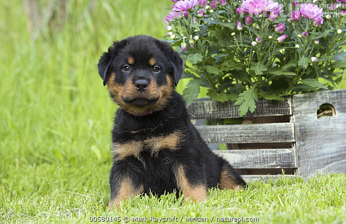 Rottweiler (Canis familiaris) puppy, North America  ,  Baby, Canis familiaris, Color Image, Cute, Day, Domestic Dog, Front View, Full Length, Horizontal, Looking at Camera, Nobody, North America, One Animal, Outdoors, Photography, Puppy, Rottweiler,Rottweiler,North America  ,  Mark Raycroft