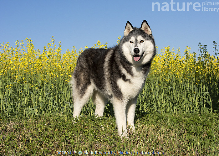 Siberian Husky (Canis familiaris), North America, Adult, Black And White, Canis familiaris, Color Image, Day, Domestic Dog, Full Length, Horizontal, Nobody, North America, One Animal, Outdoors, Photography, Siberian Husky, Side View,Siberian Husky,North America, Mark Raycroft
