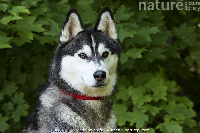 Siberian Husky (Canis familiaris), North America, Adult, Black And White, Canis familiaris, Color Image, Day, Domestic Dog, Front View, Head and Shoulders, Horizontal, Nobody, North America, One Animal, Outdoors, Photography, Portrait, Siberian Husky,Siberian Husky,North America, Mark Raycroft