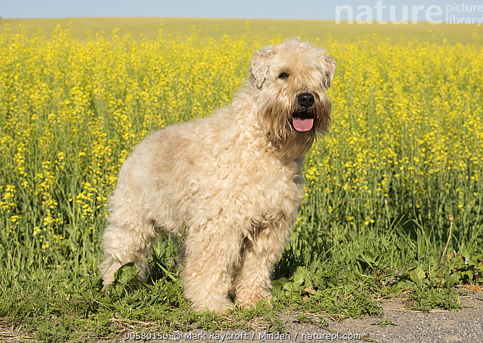 Soft-coated Wheaten Terrier (Canis familiaris), North America, Adult, Canis familiaris, Color Image, Day, Domestic Dog, Full Length, Horizontal, Nobody, North America, One Animal, Outdoors, Photography, Side View, Soft-coated Wheaten Terrier,Soft-coated Wheaten Terrier,North America, Mark Raycroft