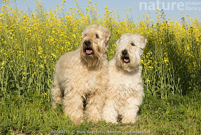 Soft-coated Wheaten Terrier (Canis familiaris) pair, North America  ,  Adult, Canis familiaris, Color Image, Day, Domestic Dog, Front View, Full Length, Horizontal, Nobody, North America, Outdoors, Photography, Soft-coated Wheaten Terrier, Two Animals,Soft-coated Wheaten Terrier,North America  ,  Mark Raycroft