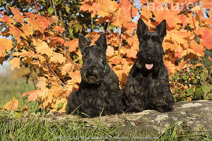 Scottish Terrier (Canis familiaris) pair, North America  ,  Adult, Canis familiaris, Color Image, Day, Domestic Dog, Front View, Full Length, Horizontal, Looking at Camera, Nobody, North America, Outdoors, Photography, Scottish Terrier, Two Animals,Scottish Terrier,North America  ,  Mark Raycroft