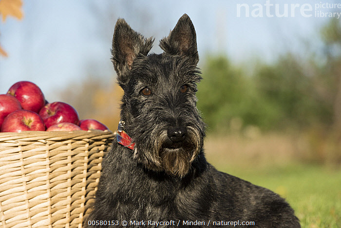 Scottish Terrier (Canis familiaris), North America, Adult, Canis familiaris, Close Up, Color Image, Day, Domestic Dog, Horizontal, Nobody, North America, One Animal, Outdoors, Photography, Scottish Terrier, Side View, Waist Up,Scottish Terrier,North America, Mark Raycroft