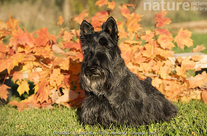 Scottish Terrier (Canis familiaris), North America  ,  Adult, Canis familiaris, Color Image, Day, Domestic Dog, Full Length, Horizontal, Nobody, North America, One Animal, Outdoors, Photography, Scottish Terrier, Side View,Scottish Terrier,North America  ,  Mark Raycroft