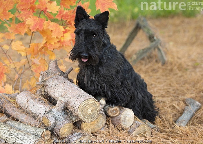 Scottish Terrier (Canis familiaris) on wood pile, North America  ,  Adult, Canis familiaris, Color Image, Day, Domestic Dog, Full Length, Horizontal, Nobody, North America, One Animal, Outdoors, Photography, Scottish Terrier, Side View,Scottish Terrier,North America  ,  Mark Raycroft