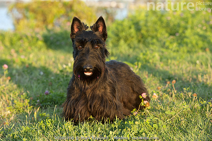Scottish Terrier (Canis familiaris), North America, Adult, Canis familiaris, Color Image, Day, Domestic Dog, Front View, Full Length, Horizontal, Looking at Camera, Nobody, North America, One Animal, Open Mouth, Outdoors, Photography, Scottish Terrier,Scottish Terrier,North America, Mark Raycroft
