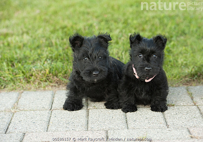 Scottish Terrier (Canis familiaris) puppies, North America, Baby, Canis familiaris, Color Image, Cute, Day, Domestic Dog, Front View, Full Length, Horizontal, Looking at Camera, Nobody, North America, Outdoors, Photography, Puppy, Scottish Terrier, Two Animals,Scottish Terrier,North America, Mark Raycroft