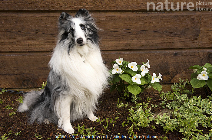 Shetland Sheepdog (Canis familiaris), North America  ,  Adult, Black And White, Canis familiaris, Color Image, Day, Domestic Dog, Full Length, Horizontal, Looking at Camera, Nobody, North America, One Animal, Outdoors, Photography, Shetland Sheepdog, Side View,Shetland Sheepdog,North America  ,  Mark Raycroft