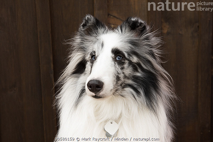 Shetland Sheepdog (Canis familiaris), North America, Adult, Canis familiaris, Close Up, Color Image, Day, Domestic Dog, Front View, Head and Shoulders, Horizontal, Looking at Camera, Nobody, North America, One Animal, Outdoors, Photography, Portrait, Shetland Sheepdog,Shetland Sheepdog,North America, Mark Raycroft