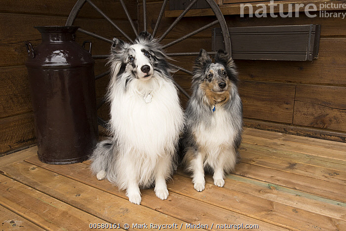 Shetland Sheepdog (Canis familiaris) pair, North America, Adult, Canis familiaris, Color Image, Day, Difference, Domestic Dog, Front View, Full Length, Horizontal, Looking at Camera, Nobody, North America, Outdoors, Photography, Shetland Sheepdog, Two Animals,Shetland Sheepdog,North America, Mark Raycroft