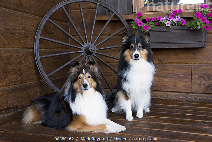 Shetland Sheepdog (Canis familiaris) pair, North America, Adult, Canis familiaris, Color Image, Day, Domestic Dog, Front View, Full Length, Horizontal, Looking at Camera, Nobody, North America, Outdoors, Photography, Shetland Sheepdog, Side View, Tri Color, Two Animals,Shetland Sheepdog,North America, Mark Raycroft