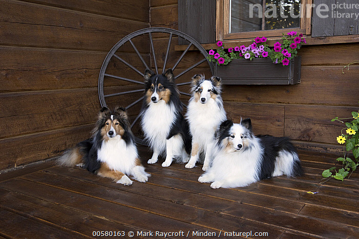 Shetland Sheepdog (Canis familiaris) group, North America  ,  Adult, Canis familiaris, Color Image, Day, Domestic Dog, Four Animals, Front View, Full Length, Horizontal, Nobody, North America, Outdoors, Photography, Shetland Sheepdog, Side View, Tri Color,Shetland Sheepdog,North America  ,  Mark Raycroft