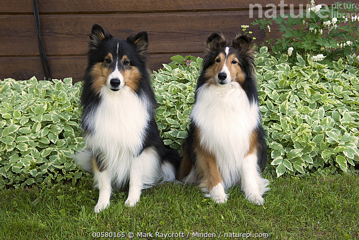 Shetland Sheepdog (Canis familiaris) pair, North America, Adult, Canis familiaris, Color Image, Day, Domestic Dog, Front View, Full Length, Horizontal, Looking at Camera, Nobody, North America, Outdoors, Photography, Shetland Sheepdog, Tri Color, Two Animals,Shetland Sheepdog,North America, Mark Raycroft