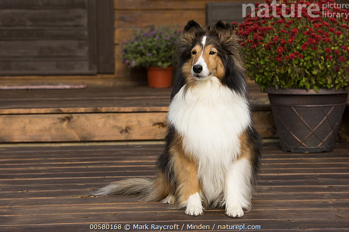Shetland Sheepdog (Canis familiaris), North America  ,  Adult, Canis familiaris, Color Image, Day, Domestic Dog, Front View, Full Length, Horizontal, Nobody, North America, One Animal, Outdoors, Photography, Shetland Sheepdog, Tri Color,Shetland Sheepdog,North America  ,  Mark Raycroft