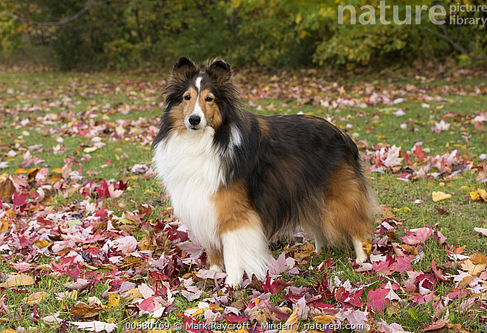 Shetland Sheepdog (Canis familiaris), North America  ,  Adult, Canis familiaris, Color Image, Day, Domestic Dog, Full Length, Horizontal, Looking at Camera, Nobody, North America, One Animal, Outdoors, Photography, Shetland Sheepdog, Side View, Tri Color,Shetland Sheepdog,North America  ,  Mark Raycroft