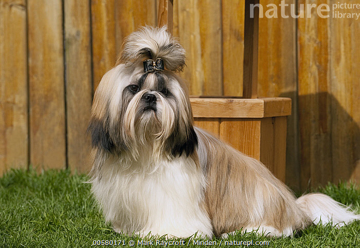 Shih Tzu (Canis familiaris) male, North America  ,  Adult, Canis familiaris, Color Image, Day, Domestic Dog, Full Length, Horizontal, Male, Nobody, North America, One Animal, Outdoors, Photography, Shih Tzu, Side View,Shih Tzu,North America  ,  Mark Raycroft