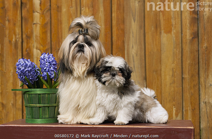 Shih Tzu (Canis familiaris) parent with puppy, North America  ,  Adult, Baby, Canis familiaris, Color Image, Cute, Day, Domestic Dog, Front View, Full Length, Horizontal, Looking at Camera, Nobody, North America, Outdoors, Parent, Photography, Puppy, Shih Tzu, Side View, Two Animals,Shih Tzu,North America  ,  Mark Raycroft
