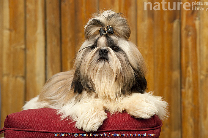 Shih Tzu (Canis familiaris) male, North America  ,  Adult, Canis familiaris, Color Image, Day, Domestic Dog, Front View, Full Length, Horizontal, Male, Nobody, North America, One Animal, Outdoors, Photography, Shih Tzu,Shih Tzu,North America  ,  Mark Raycroft