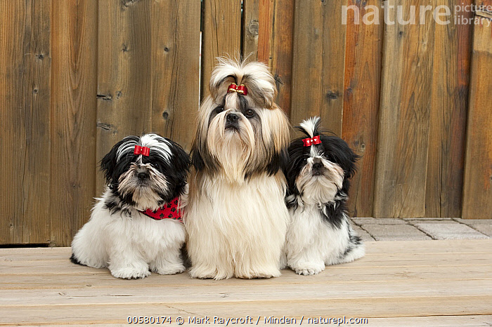 Shih Tzu (Canis familiaris) parent with puppies, North America, Adult, Baby, Canis familiaris, Color Image, Cute, Day, Domestic Dog, Front View, Full Length, Horizontal, Nobody, North America, Outdoors, Parent, Photography, Puppy, Shih Tzu, Three Animals,Shih Tzu,North America, Mark Raycroft