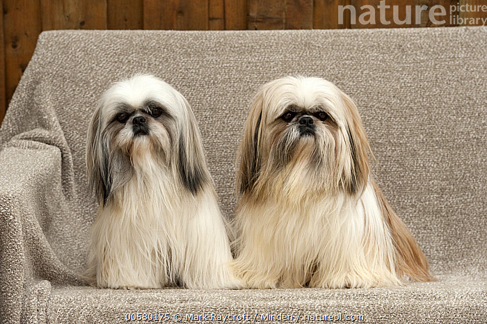 Shih Tzu (Canis familiaris) pair, North America, Adult, Canis familiaris, Color Image, Day, Domestic Dog, Front View, Full Length, Horizontal, Looking at Camera, Nobody, North America, Outdoors, Photography, Shih Tzu, Two Animals,Shih Tzu,North America, Mark Raycroft