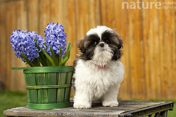 Shih Tzu (Canis familiaris) puppy, North America  ,  Baby, Canis familiaris, Color Image, Cute, Day, Domestic Dog, Front View, Full Length, Horizontal, Looking at Camera, Nobody, North America, One Animal, Outdoors, Photography, Puppy, Shih Tzu,Shih Tzu,North America  ,  Mark Raycroft