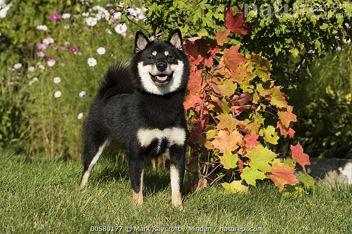 Shiba Inu (Canis familiaris), North America, Adult, Canis familiaris, Color Image, Day, Domestic Dog, Front View, Full Length, Horizontal, Looking at Camera, Nobody, North America, One Animal, Outdoors, Photography, Shiba Inu,Shiba Inu,North America, Mark Raycroft