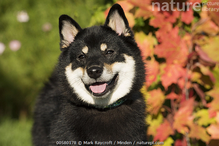 Shiba Inu (Canis familiaris), North America  ,  Adult, Canis familiaris, Close Up, Color Image, Day, Domestic Dog, Front View, Head and Shoulders, Horizontal, Nobody, North America, One Animal, Outdoors, Photography, Portrait, Shiba Inu,Shiba Inu,North America  ,  Mark Raycroft