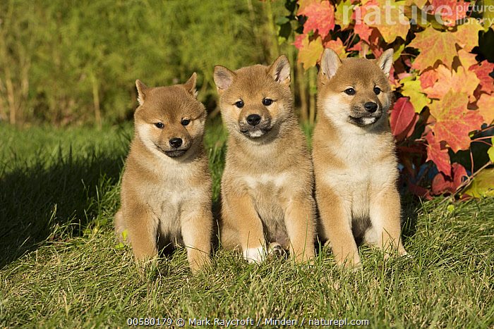 Shiba Inu (Canis familiaris) puppies, North America  ,  Baby, Canis familiaris, Color Image, Cute, Day, Domestic Dog, Front View, Full Length, Horizontal, Looking at Camera, Nobody, North America, Outdoors, Photography, Puppy, Shiba Inu, Three Animals,Shiba Inu,North America  ,  Mark Raycroft