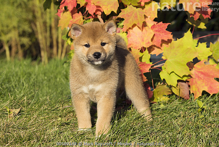 Shiba Inu (Canis familiaris) puppy, North America, Baby, Canis familiaris, Color Image, Cute, Day, Domestic Dog, Front View, Full Length, Horizontal, Looking at Camera, Nobody, North America, One Animal, Outdoors, Photography, Puppy, Shiba Inu,Shiba Inu,North America, Mark Raycroft