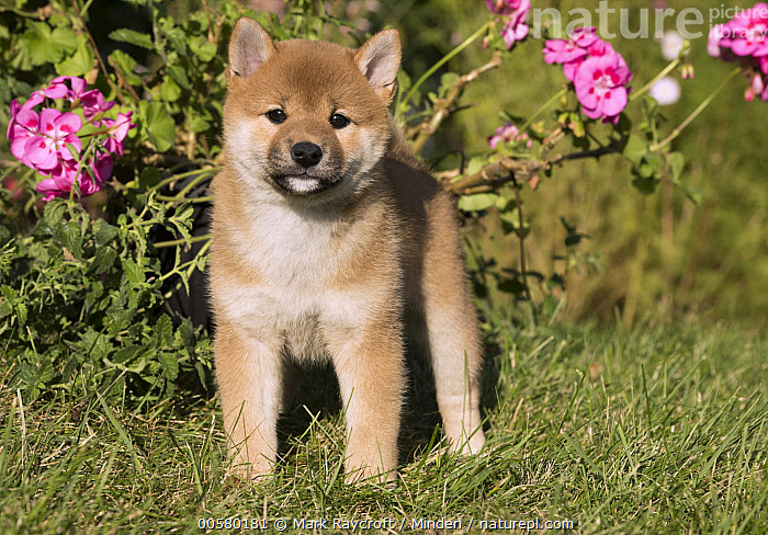 Shiba Inu (Canis familiaris) puppy, North America  ,  Baby, Canis familiaris, Color Image, Cute, Day, Domestic Dog, Front View, Full Length, Horizontal, Looking at Camera, Nobody, North America, One Animal, Outdoors, Photography, Puppy, Shiba Inu,Shiba Inu,North America  ,  Mark Raycroft