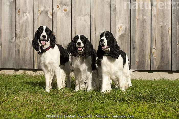 English Springer Spaniel (Canis familiaris) trio, North America  ,  Adult, Black And White, Canis familiaris, Color Image, Day, Domestic Dog, English Springer Spaniel, Front View, Full Length, Horizontal, Nobody, North America, Outdoors, Panting, Photography, Three Animals,English Springer Spaniel,North America  ,  Mark Raycroft