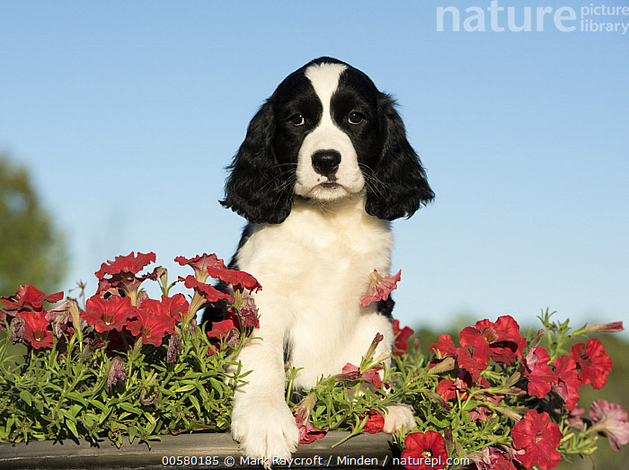 English Springer Spaniel (Canis familiaris) puppy, North America, Baby, Black And White, Canis familiaris, Color Image, Day, Domestic Dog, English Springer Spaniel, Front View, Horizontal, Looking at Camera, Nobody, North America, One Animal, Outdoors, Photography, Puppy, Waist Up,English Springer Spaniel,North America, Mark Raycroft