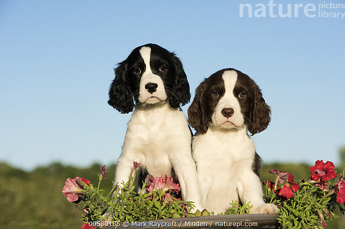 English Springer Spaniel (Canis familiaris) puppies, North America, Baby, Black And White, Canis familiaris, Color Image, Day, Domestic Dog, English Springer Spaniel, Front View, Full Length, Horizontal, Looking at Camera, Nobody, North America, Outdoors, Photography, Puppy, Two Animals,English Springer Spaniel,North America, Mark Raycroft