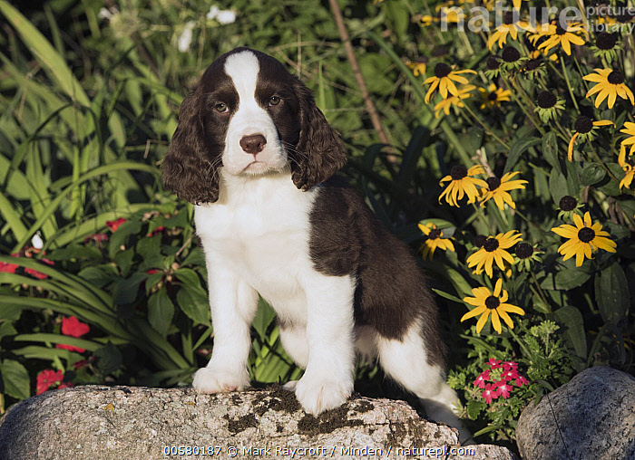 English Springer Spaniel (Canis familiaris) puppy, North America  ,  Baby, Black And White, Canis familiaris, Color Image, Day, Domestic Dog, English Springer Spaniel, Full Length, Horizontal, Looking at Camera, Nobody, North America, One Animal, Outdoors, Photography, Puppy, Side View,English Springer Spaniel,North America  ,  Mark Raycroft