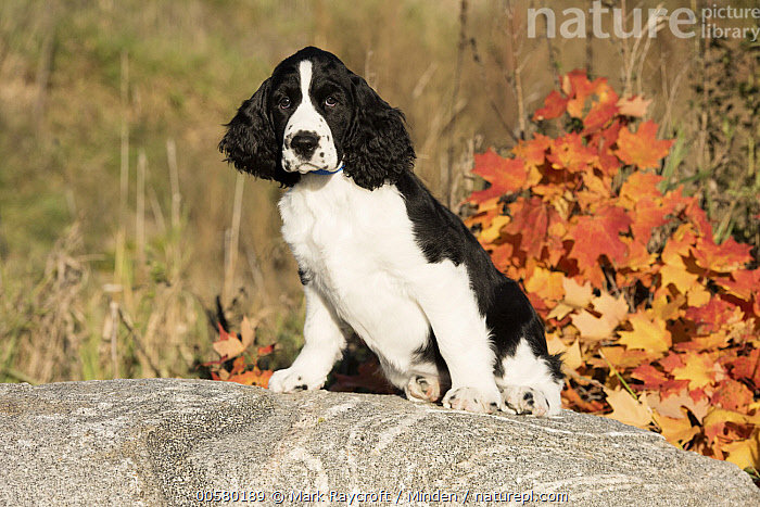 English Springer Spaniel (Canis familiaris) puppy, North America, Baby, Black And White, Canis familiaris, Color Image, Day, Domestic Dog, English Springer Spaniel, Full Length, Horizontal, Looking at Camera, Nobody, North America, One Animal, Outdoors, Photography, Puppy, Side View,English Springer Spaniel,North America, Mark Raycroft