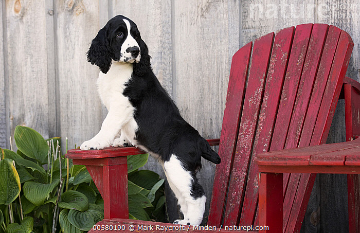 English Springer Spaniel (Canis familiaris) puppy, North America, Baby, Black And White, Canis familiaris, Color Image, Day, Domestic Dog, English Springer Spaniel, Full Length, Horizontal, Nobody, North America, One Animal, Outdoors, Photography, Puppy, Side View,English Springer Spaniel,North America, Mark Raycroft
